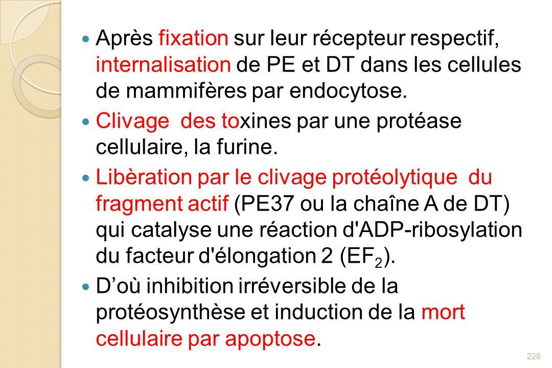 Après fixation sur leur récepteur respectif, internalisation de PE et DT dans les cellules de mammifères par endocytose.