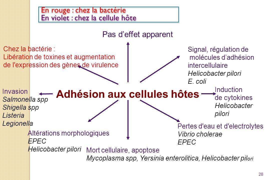 Adhésion aux cellules hôtes