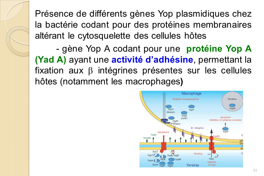Présence de différents gènes Yop plasmidiques chez la bactérie codant pour des protéines membranaires altérant le cytosquelette des cellules hôtes - gène Yop A codant pour une protéine Yop A (Yad A) ayant une activité d'adhésine, permettant la fixation aux b intégrines présentes sur les cellules hôtes (notamment les macrophages)