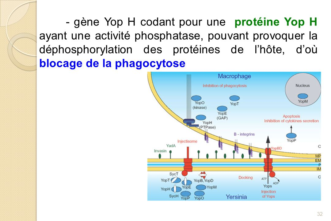 - gène Yop H codant pour une protéine Yop H ayant une activité phosphatase, pouvant provoquer la déphosphorylation des protéines de l'hôte, d'où blocage de la phagocytose