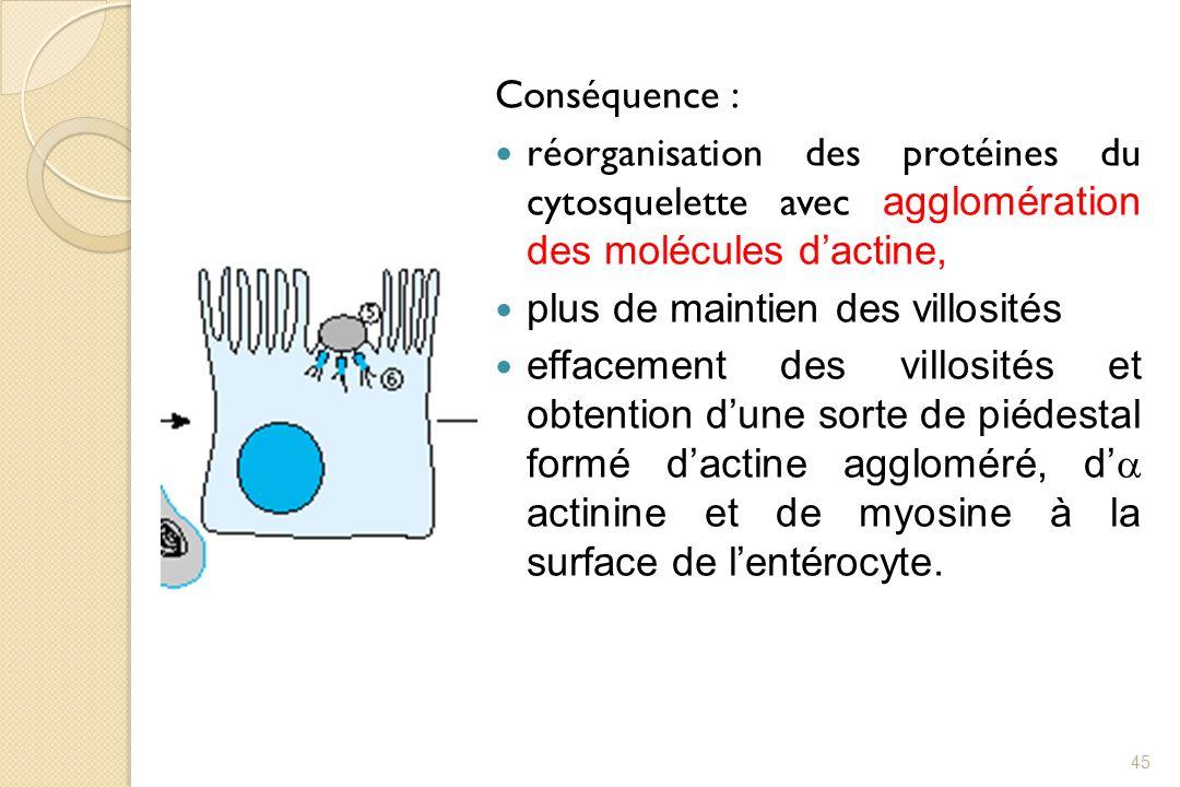 Conséquence : réorganisation des protéines du cytosquelette avec agglomération des molécules d'actine,
