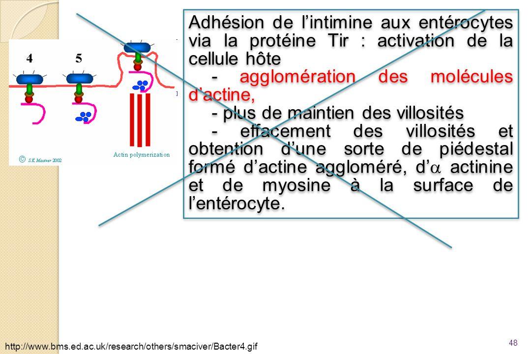 - agglomération des molécules d'actine,