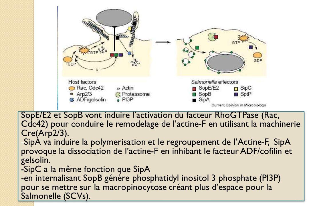 SopE/E2 et SopB vont induire l'activation du facteur RhoGTPase (Rac, Cdc42) pour conduire le remodelage de l'actine-F en utilisant la machinerie Cre(Arp2/3).