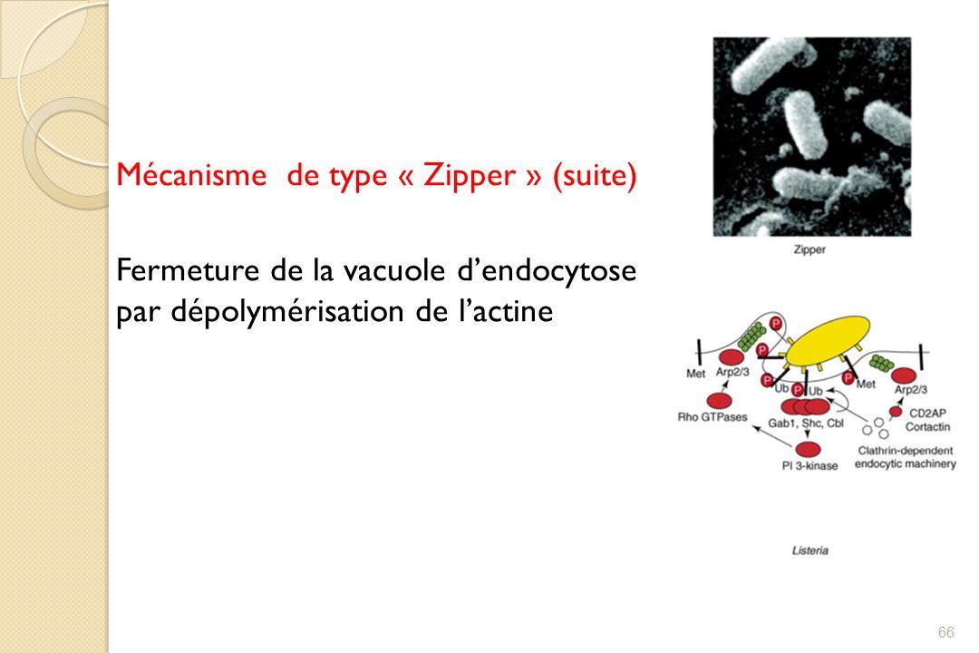 Mécanisme de type « Zipper » (suite) Fermeture de la vacuole d'endocytose par dépolymérisation de l'actine