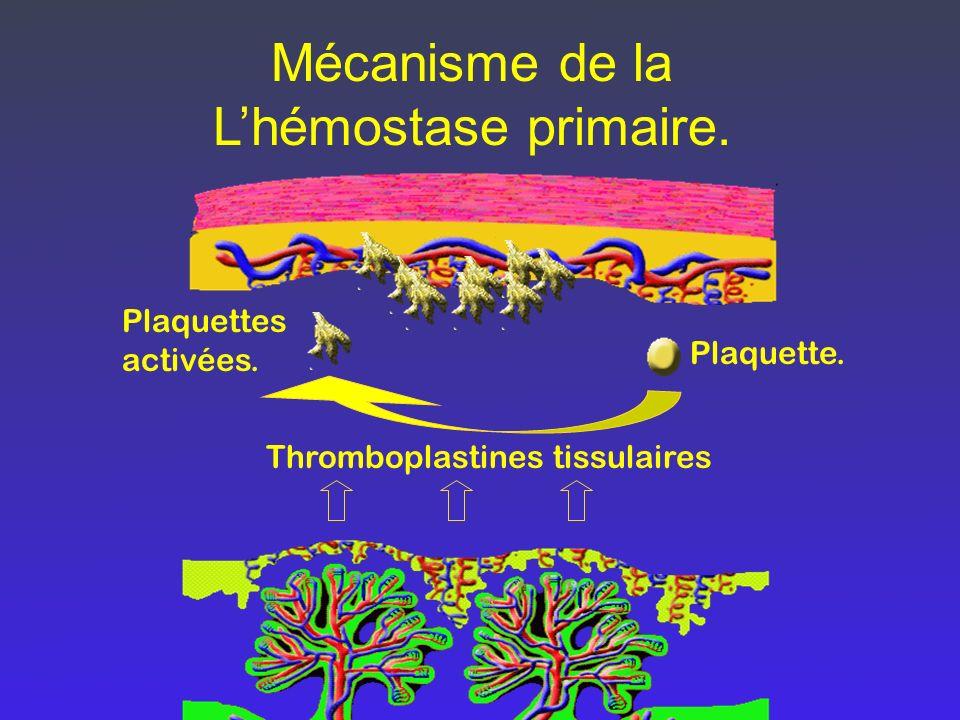 Mécanisme de la L'hémostase primaire.