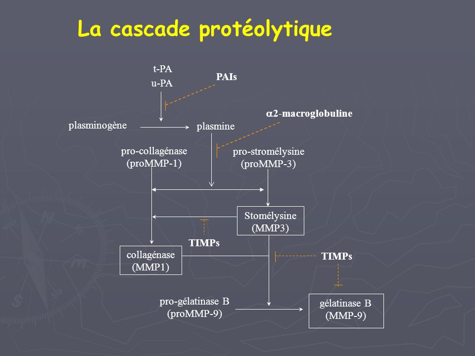 La cascade protéolytique