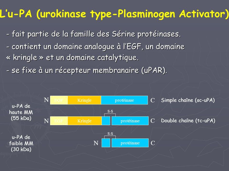 L'u-PA (urokinase type-Plasminogen Activator)