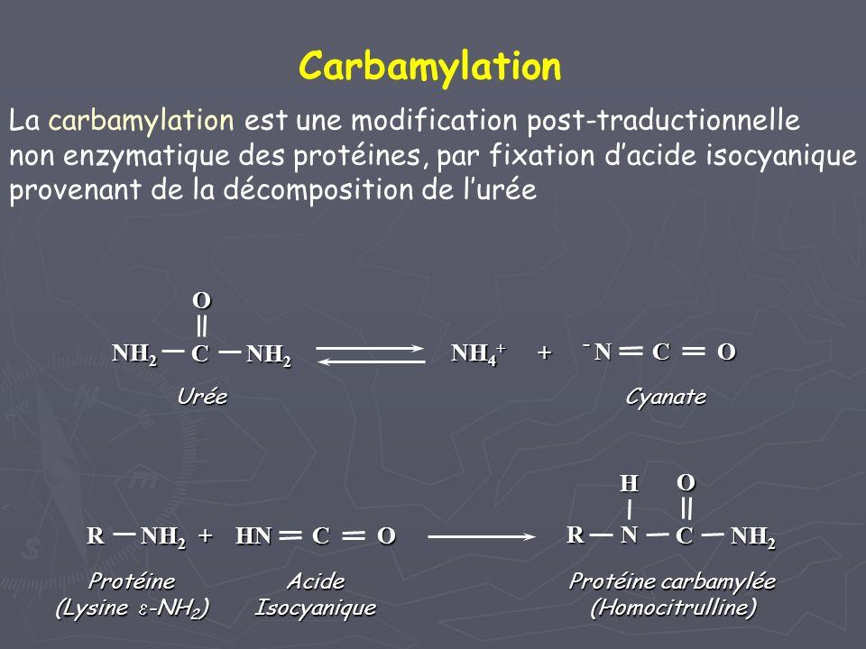 Carbamylation La carbamylation est une modification post-traductionnelle. non enzymatique des protéines, par fixation d'acide isocyanique.