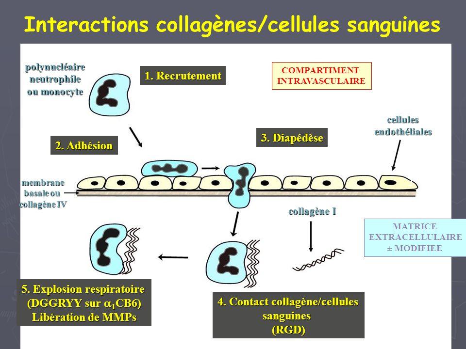 Interactions collagènes/cellules sanguines
