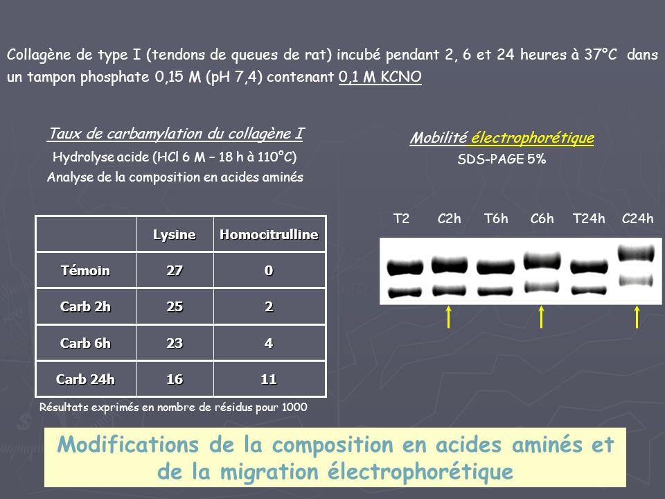 Collagène de type I (tendons de queues de rat) incubé pendant 2, 6 et 24 heures à 37°C dans un tampon phosphate 0,15 M (pH 7,4) contenant 0,1 M KCNO