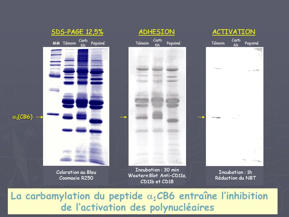 La carbamylation du peptide a1CB6 entraîne l'inhibition