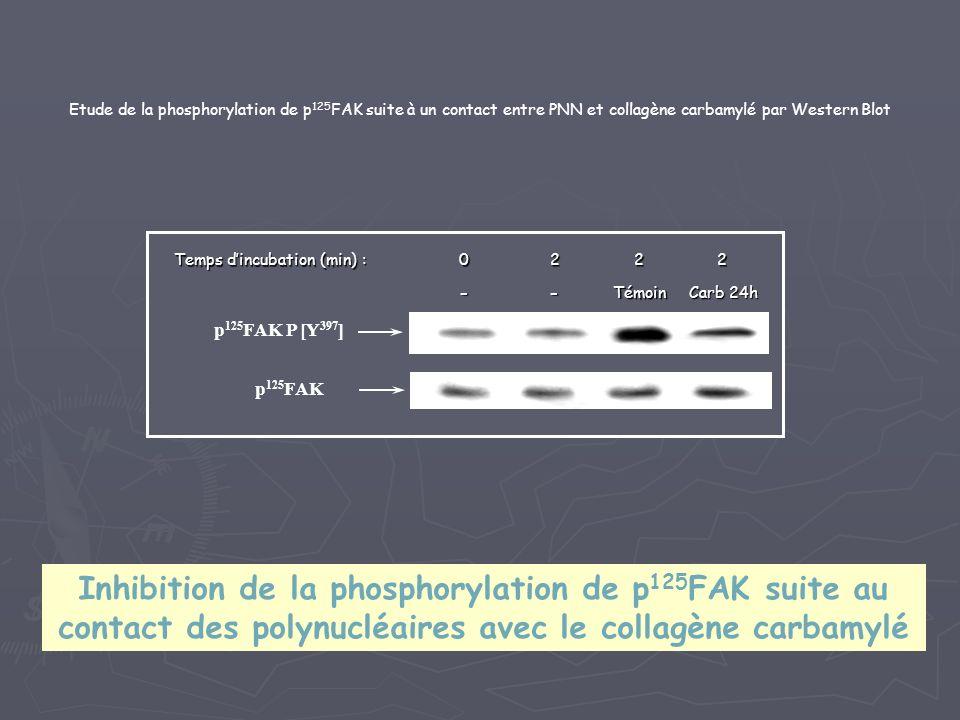 Etude de la phosphorylation de p125FAK suite à un contact entre PNN et collagène carbamylé par Western Blot