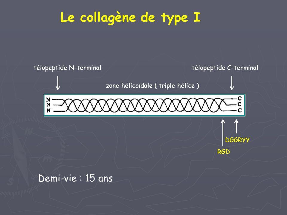 Le collagène de type I Demi-vie : 15 ans télopeptide N-terminal