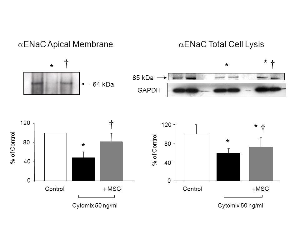 † * † * * † * † * * ENaC Apical Membrane ENaC Total Cell Lysis