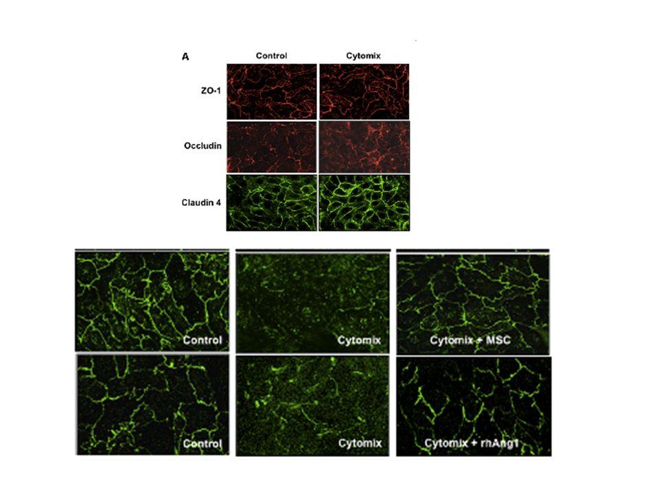 Les expériences montreront qui'il s'git d'un effet sur le maintien du cytosquelette d'actine et le maintien de la claudine 18 dans les jonctions serrées médié par la voie RAC