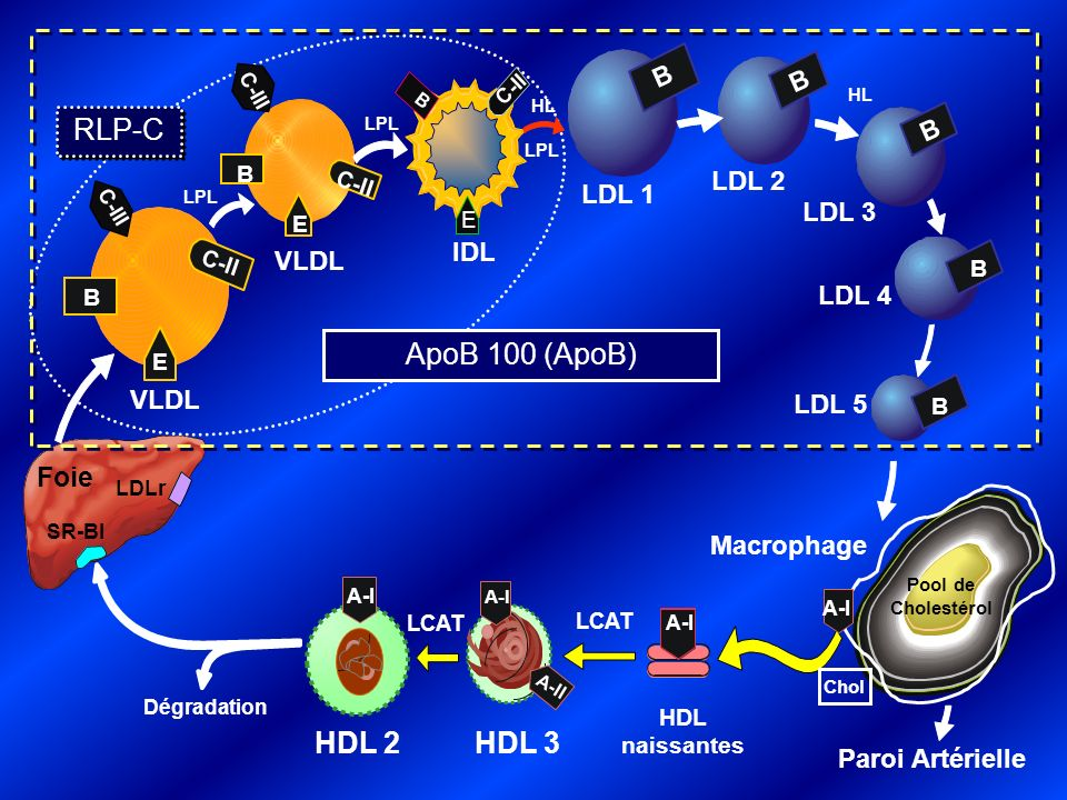 RLP-C ApoB 100 (ApoB) HDL 3 HDL 2 Foie B B B LDL 2 LDL 1 LDL 3 IDL