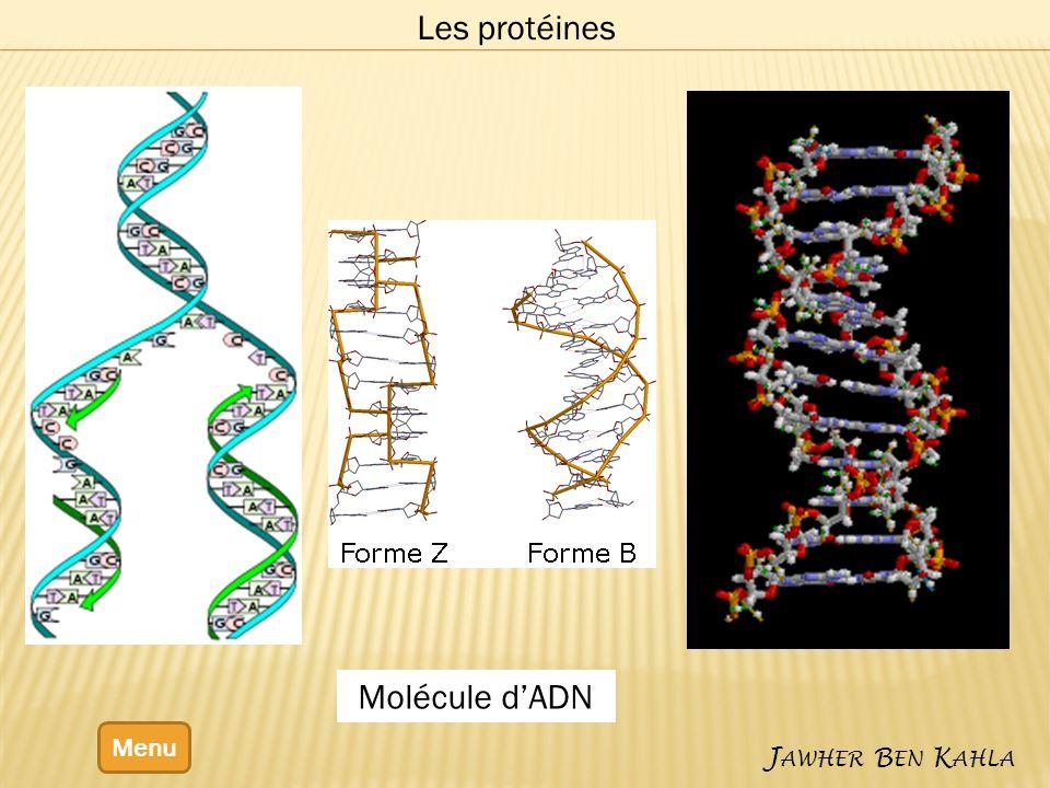Les protéines Molécule d'ADN Menu Jawher Ben Kahla