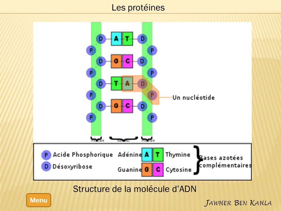 Structure de la molécule d'ADN