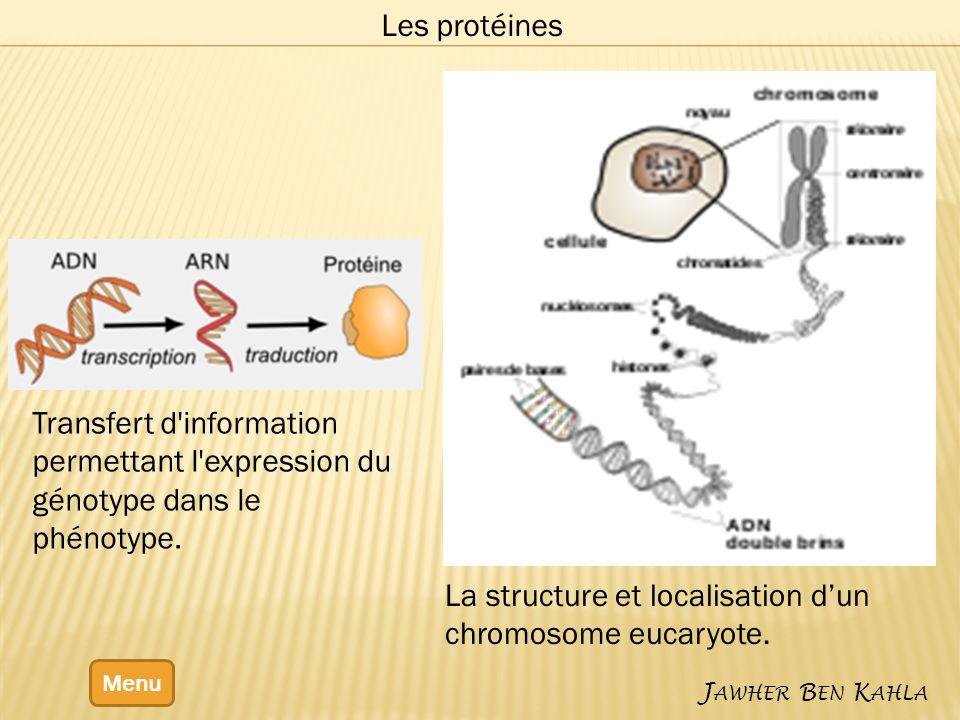 La structure et localisation d'un chromosome eucaryote.