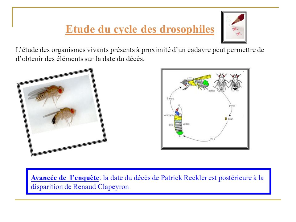 Etude du cycle des drosophiles