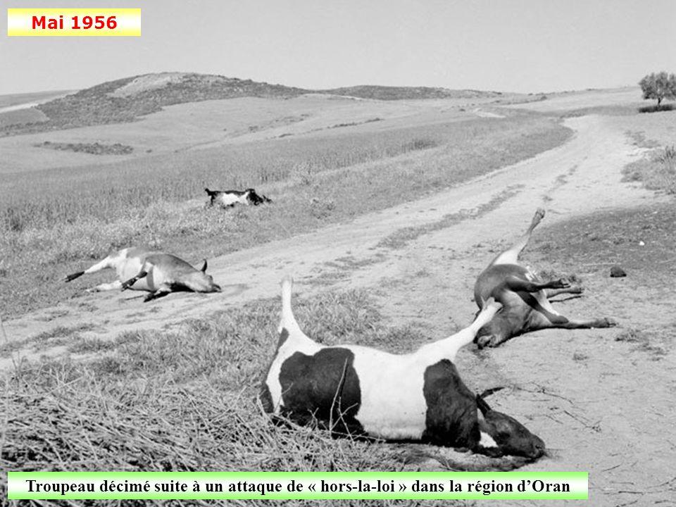 Mai 1956 Troupeau décimé suite à un attaque de « hors-la-loi » dans la région d'Oran