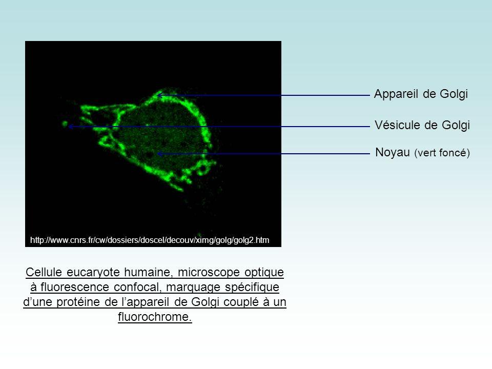 Appareil de Golgi Vésicule de Golgi Noyau (vert foncé)