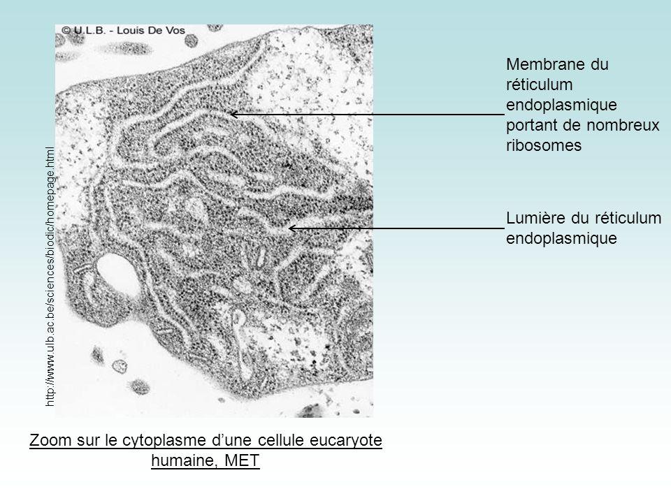 Zoom sur le cytoplasme d'une cellule eucaryote humaine, MET