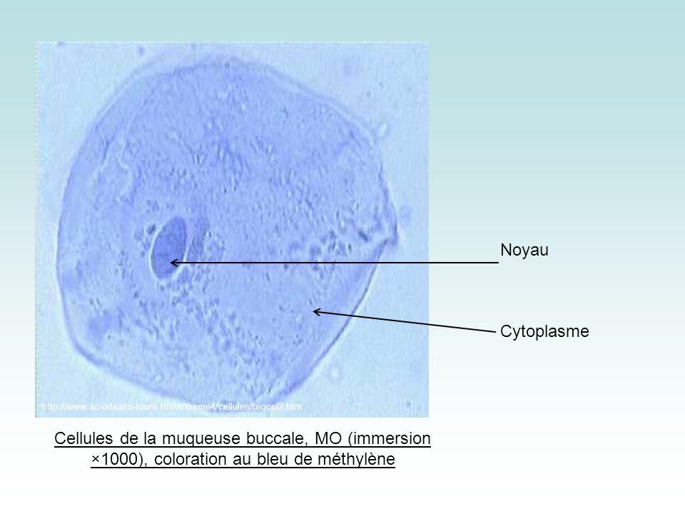 Noyau Cytoplasme. http://www.ac-orleans-tours.fr/svt/theme4/cellules/biocel2.htm.