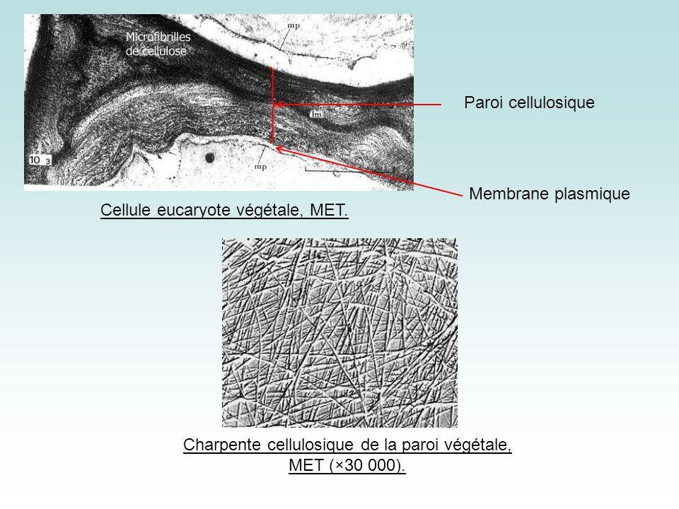 Cellule eucaryote végétale, MET.