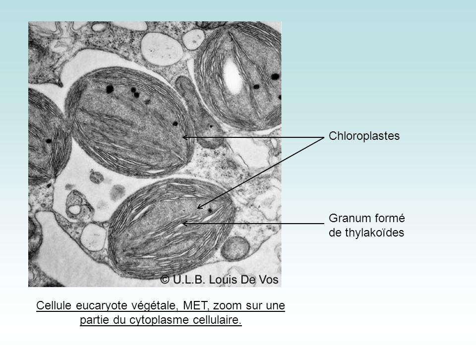 Granum formé de thylakoïdes