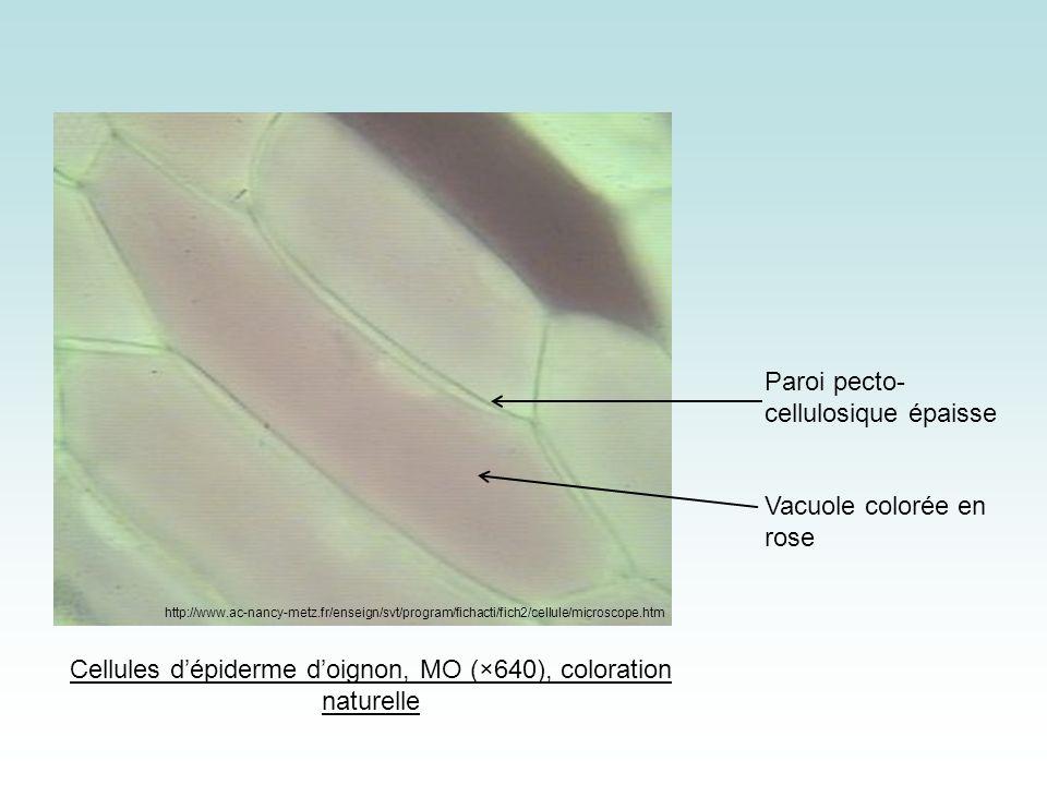 Cellules d'épiderme d'oignon, MO (×640), coloration naturelle