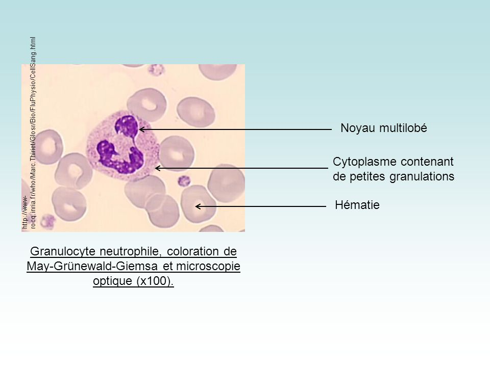 Cytoplasme contenant de petites granulations