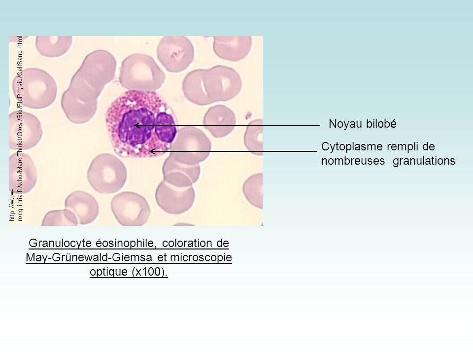 Cytoplasme rempli de nombreuses granulations