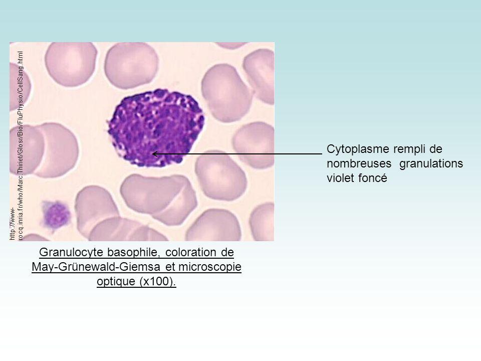 Cytoplasme rempli de nombreuses granulations violet foncé
