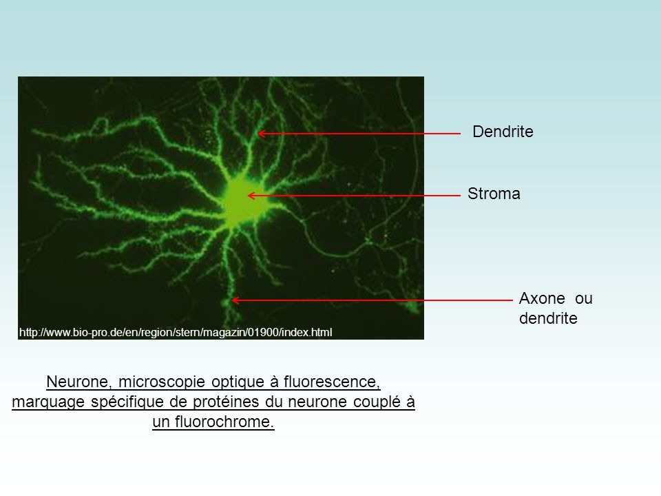 Dendrite Stroma Axone ou dendrite