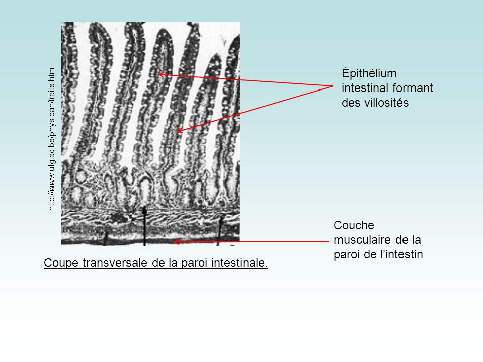Coupe transversale de la paroi intestinale.