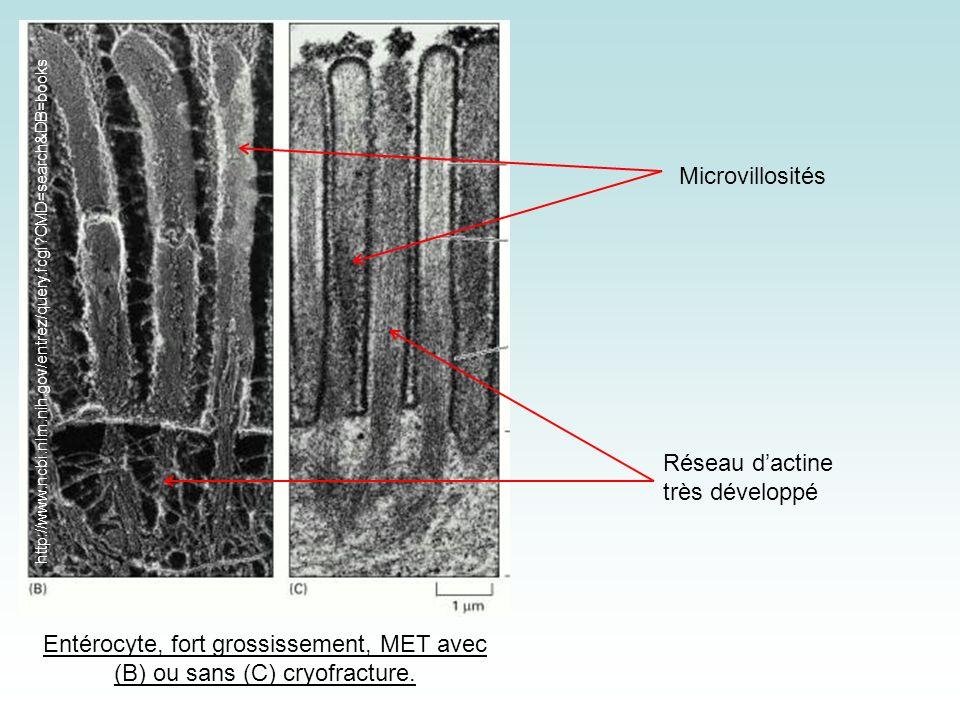 Entérocyte, fort grossissement, MET avec (B) ou sans (C) cryofracture.