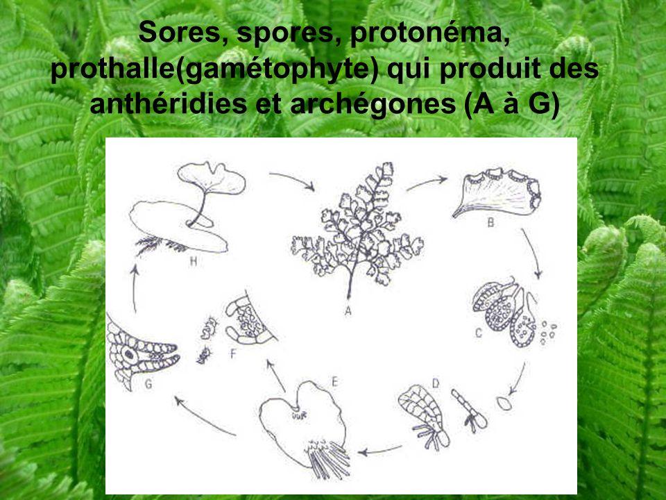 Sores, spores, protonéma, prothalle(gamétophyte) qui produit des anthéridies et archégones (A à G)