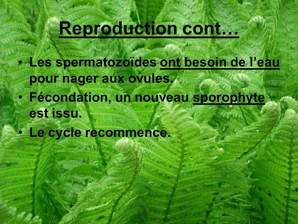 Reproduction cont… Les spermatozoïdes ont besoin de l'eau pour nager aux ovules. Fécondation, un nouveau sporophyte est issu.