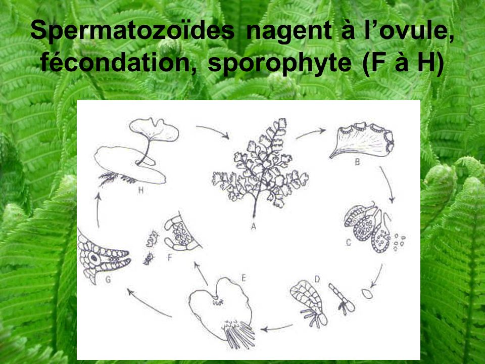 Spermatozoïdes nagent à l'ovule, fécondation, sporophyte (F à H)