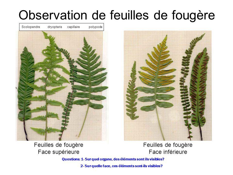 Observation de feuilles de fougère