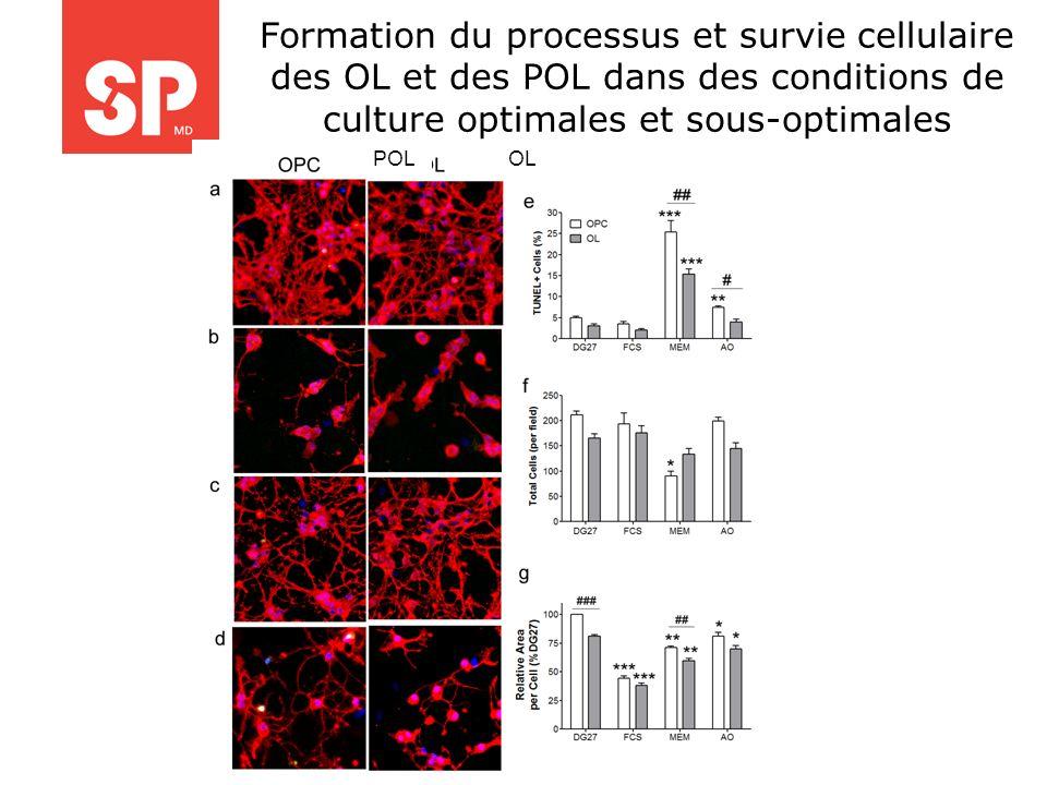 Formation du processus et survie cellulaire des OL et des POL dans des conditions de culture optimales et sous-optimales