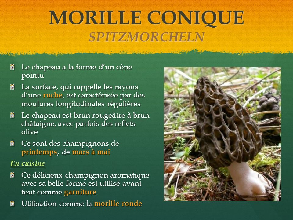 MORILLE CONIQUE SPITZMORCHELN