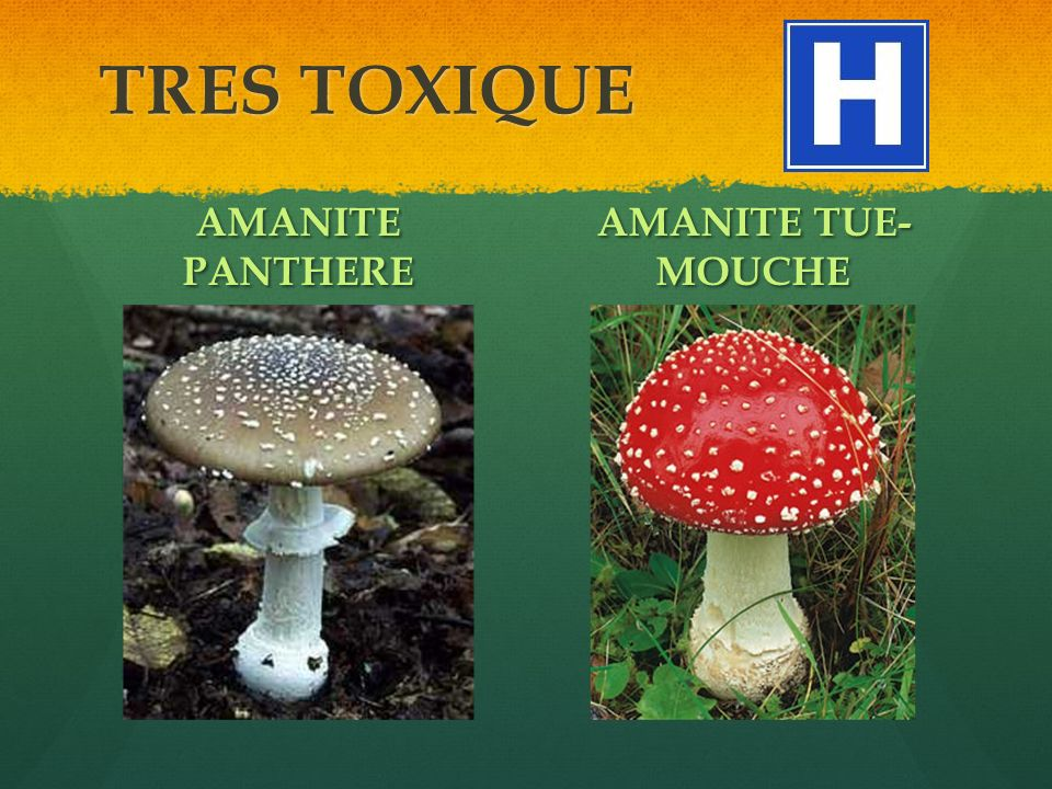 TRES TOXIQUE AMANITE PANTHERE AMANITE TUE-MOUCHE