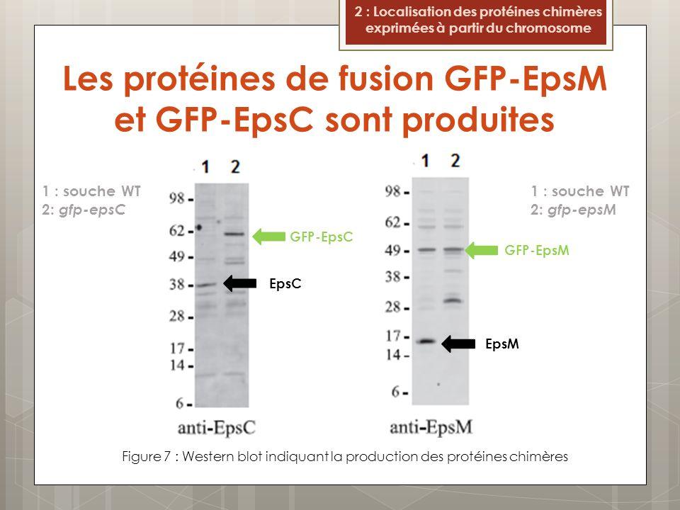 Les protéines de fusion GFP-EpsM et GFP-EpsC sont produites