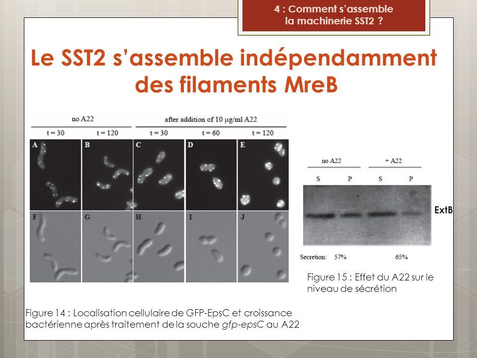 Le SST2 s'assemble indépendamment des filaments MreB