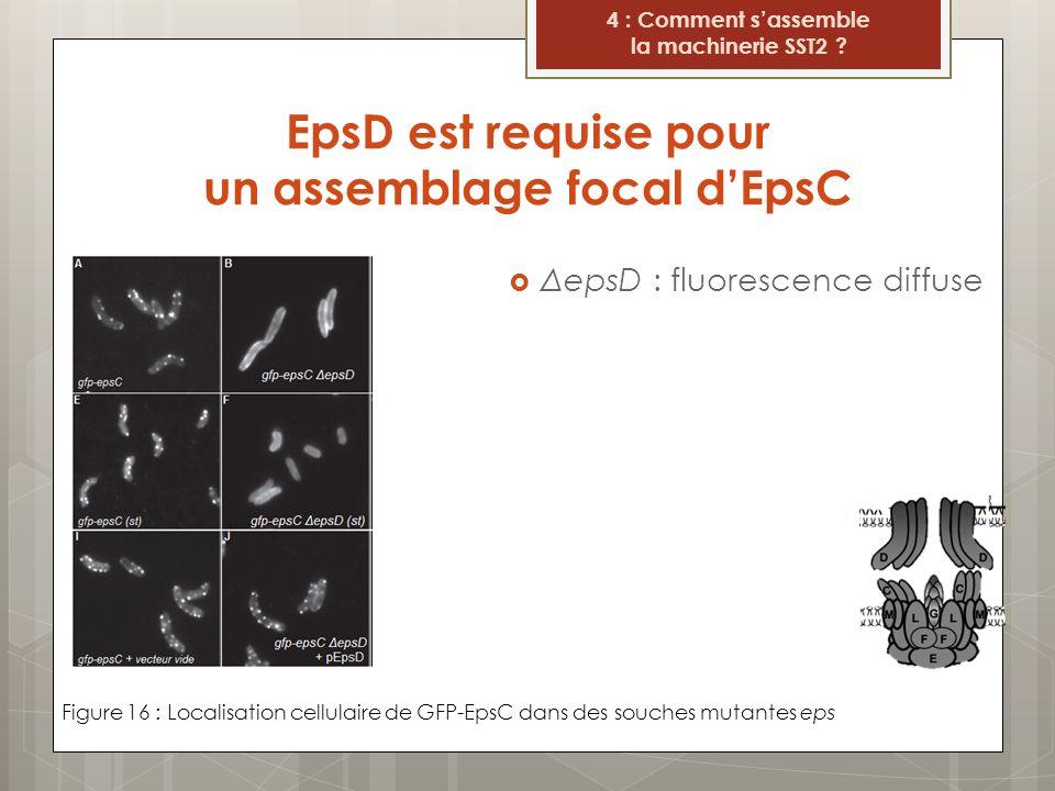 EpsD est requise pour un assemblage focal d'EpsC