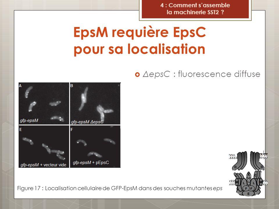 EpsM requière EpsC pour sa localisation