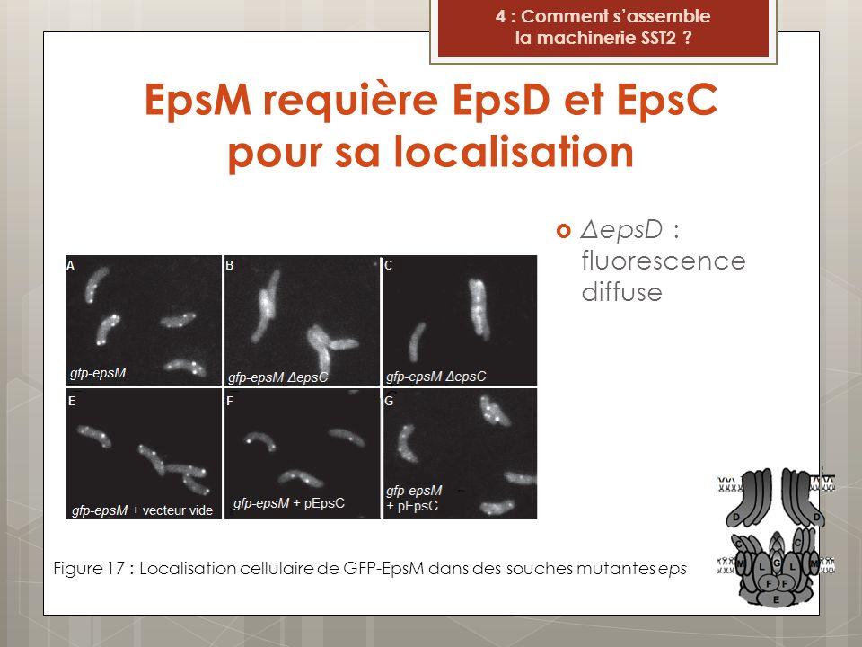EpsM requière EpsD et EpsC pour sa localisation