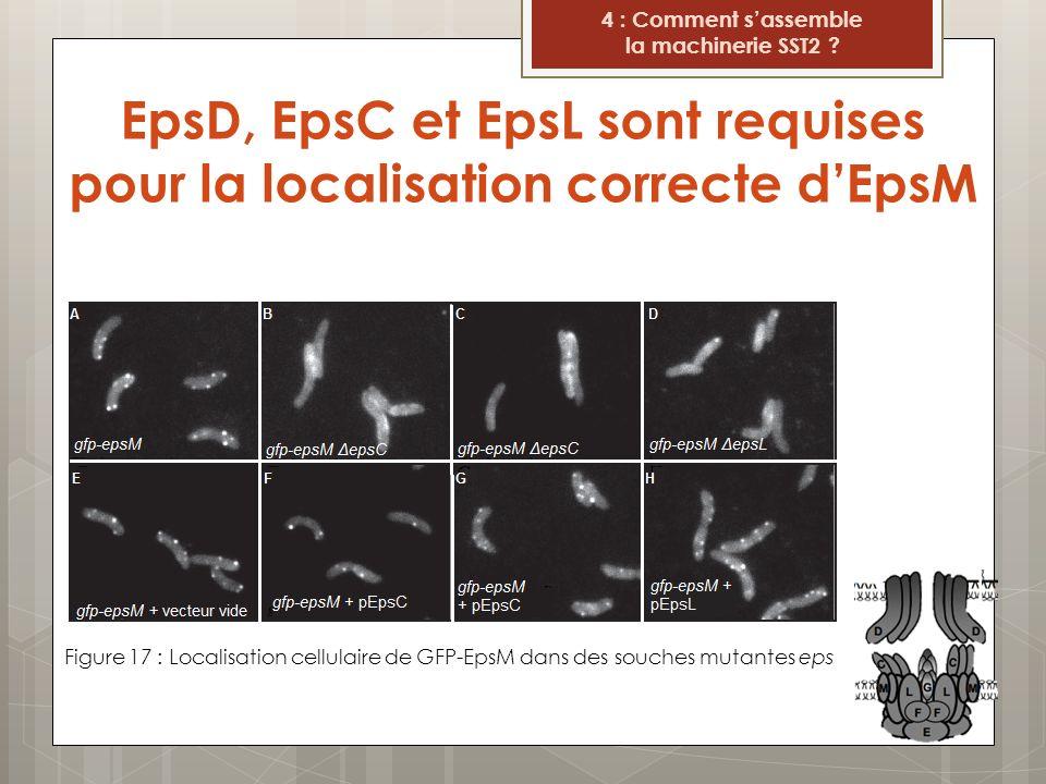 EpsD, EpsC et EpsL sont requises pour la localisation correcte d'EpsM